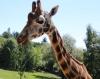 Rothschildgiraffe Jacqueline im Opel-Zoo gestorben